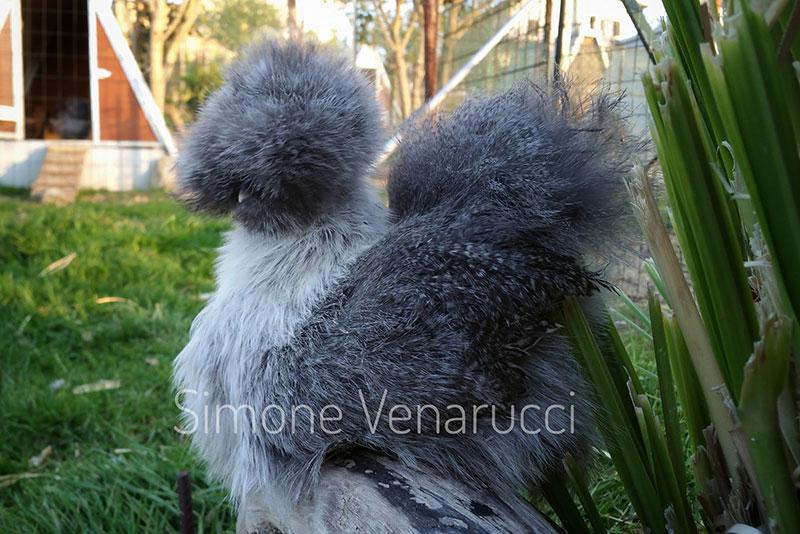 Allevamento gallina ornamentale Moroseta, Il Diamante di Seta