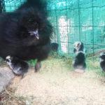 Fattoria Rapallo | Allevamento galline Moroseta con barba e Livornese bianca