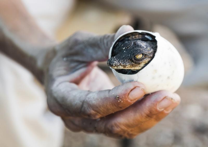 La schiusa di un piccolo di coccodrillo con il suo Egg tooth