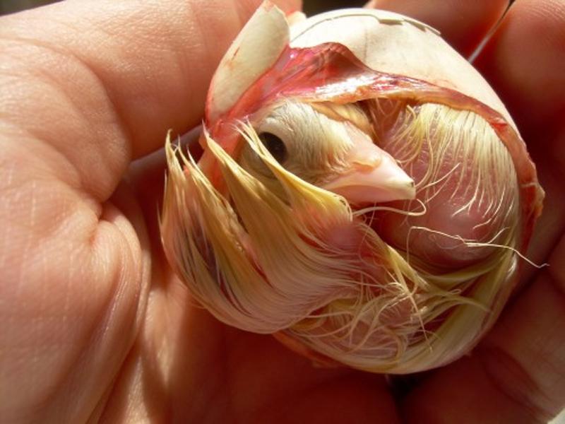 Un pulcino, appena dopo la schiusa, con il suo piccolo egg tooth ancora visibile sulla punta del becco