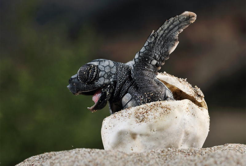 Una tartarughina con il suo Egg tooth