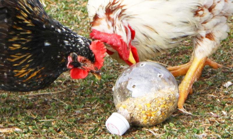 Gioco per galline, bottiglia bucata con cibo