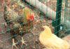 Introdurre nuove galline in un pollaio già esistente   Tuttosullegalline.it