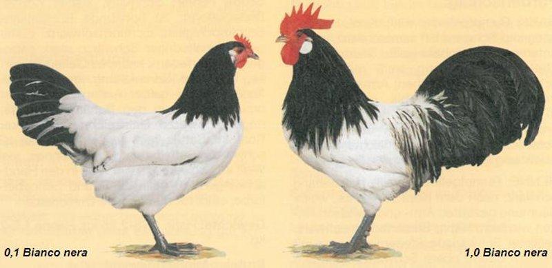 Gallina e Gallo di razza Lakenfelder nello standard italiano FIAV