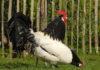 Lakenfelder, gallina ovaiola dalla caratteristica livrea bianca e nera | Tuttosullegalline.it