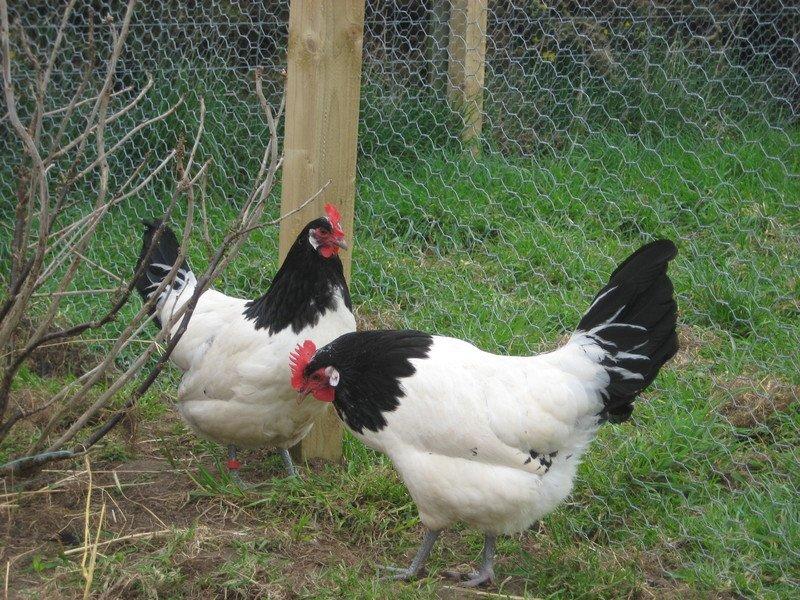 Pollaio con ampio pascolo e ampia recinzione per galline di razza Lakenfelder.