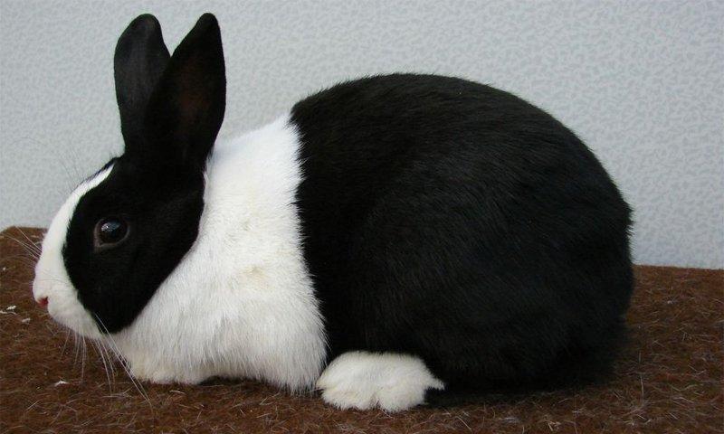 La razza di coniglio olandese,dal manto con il caratteristico contrasto bianco-nero