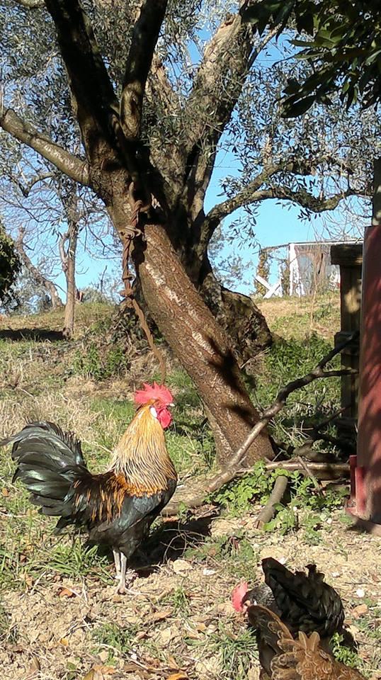 Pollo razza romagnola