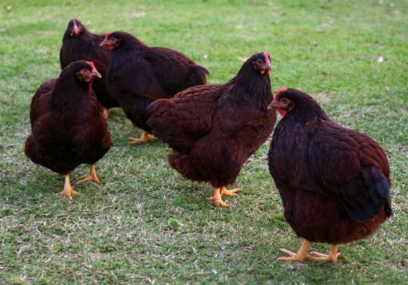Gruppo di galline Rhode Island bantam
