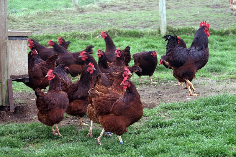Allevamento di galline ovaiole Rhode Island