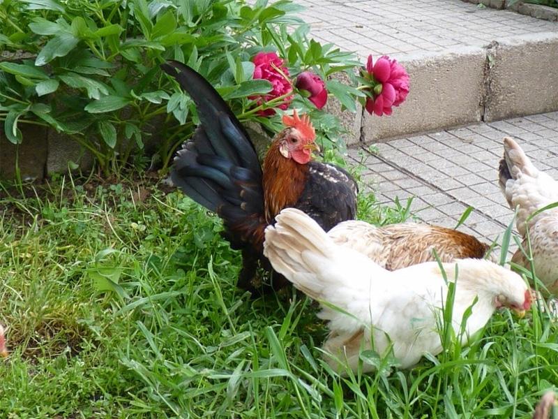 Serama in un giardino (galline urbane per eccellenza).