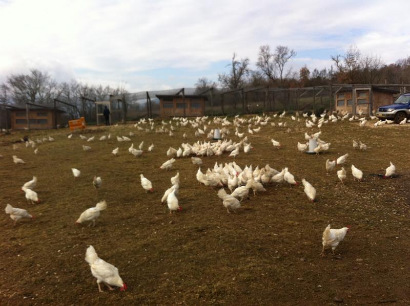 Galline livornesi libere presso l'allevamento bio L'uovo e la canapa | L'aquila