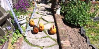 Video divertenti di galli e galline che corrono incontro al proprio amico umano | Tuttosullegalline.it
