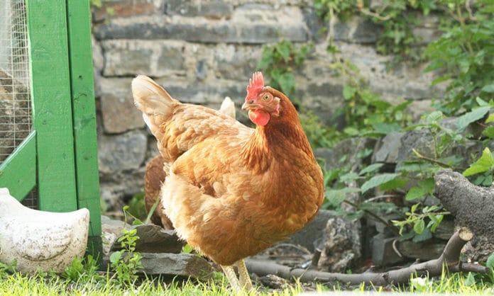 9 buoni motivi per realizzare un pollaio domestico e allevare galline | Tuttosullegalline.it
