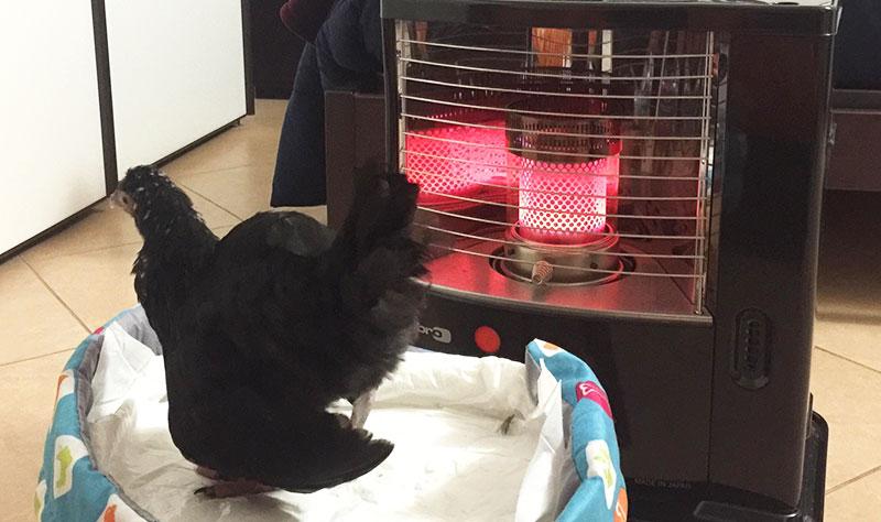 La gallina Camilla al calduccio della stufa
