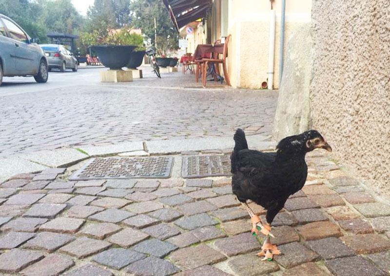 La gallina Camilla e i rinforzi per le zampe
