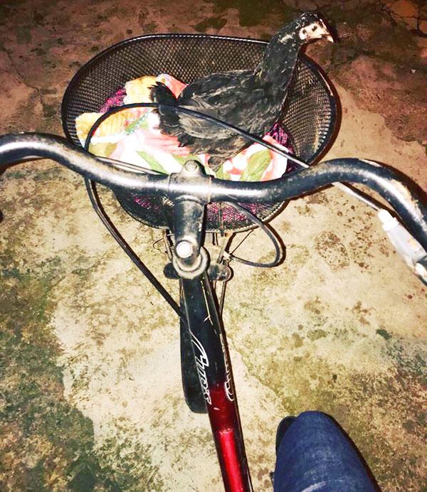 La gallina Camilla in bicicletta