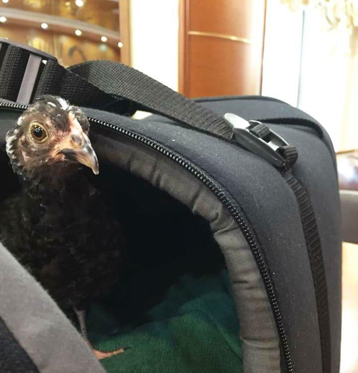 La gallina Camilla nella borsa in hotel