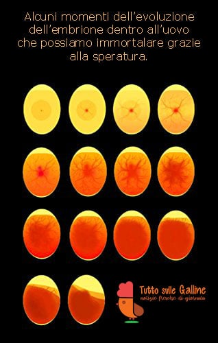 Speratura di un uovo di gallina a diversi stadi di incubazione