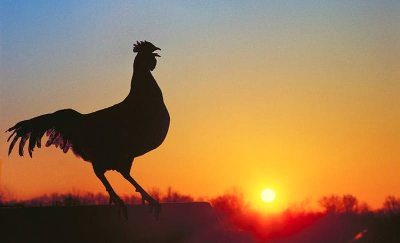 Gallo che canta alle prime luci dell'alba
