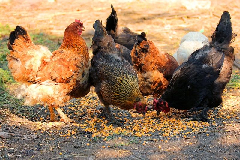 Galline che razzolano e mangiamo mais biologico