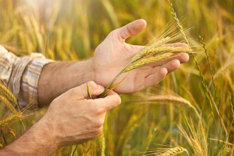 Spighe di grano da agricoltura biologica