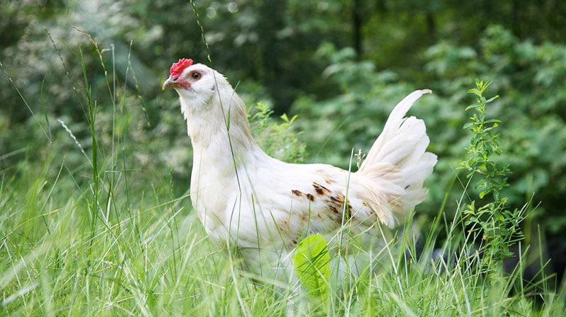Odore delle galline scaccia le zanzare