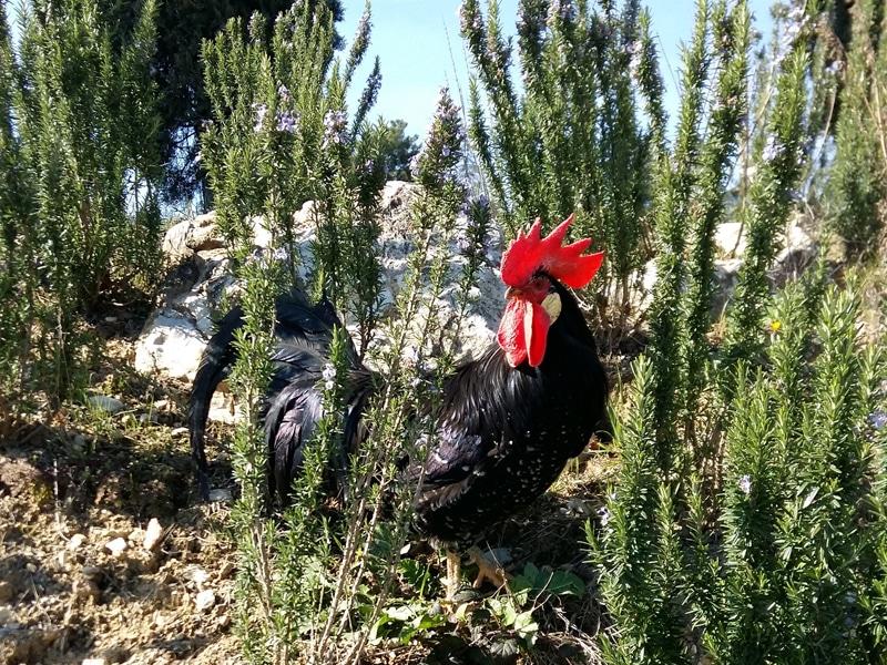 Un gallo tra il rosmarino del Borgo San Felice.