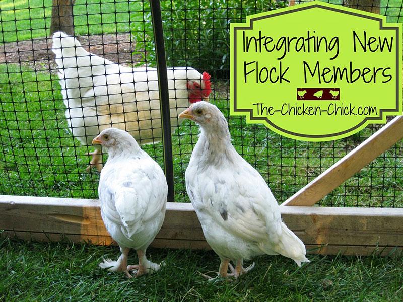 pollastre che dopo 3 mesi devono entrare nel pollaio