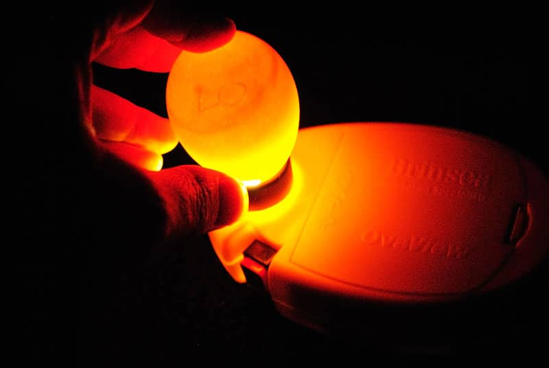 Speratura uova di gallina | Tuttosullegalline.it