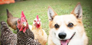 Video divertenti di galline e cani Corgy | Tuttosullegalline.it