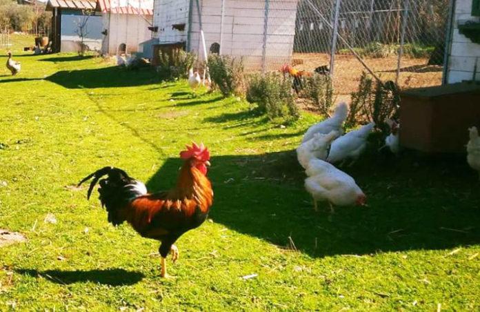 La Chioccinella d'Oro | Allevamento galline razze ornamentali e ovaiole