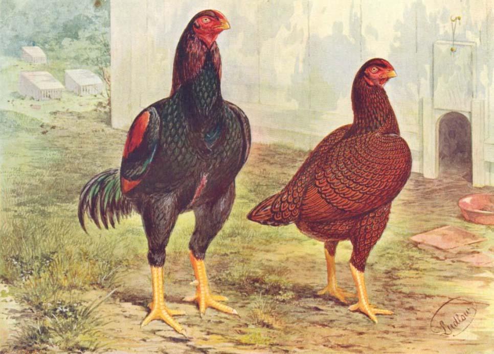 Stampa raffigurante gallo e gallina di razza Combattente Indiano (Cornish)