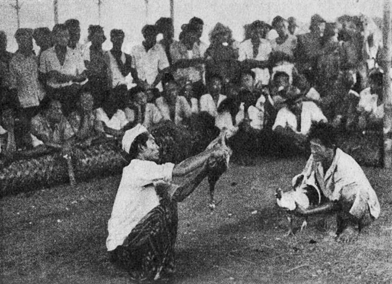 Combattimento tra galli, 1958 a Bali (durante lo studio sul campo dell'antropologo Geertz)