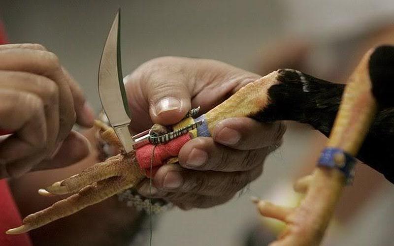 La crudele pratica dell'armamento dei tarsi nel combattimento tra galli