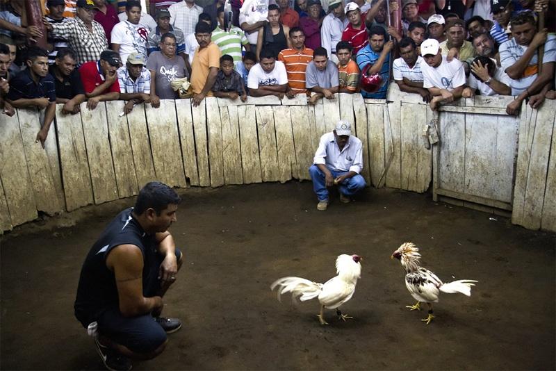 Combattimento tra galli (Nicaragua - 2011)