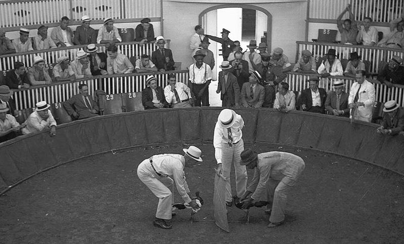 Combattimento tra galli (Porto Rico - 1937)