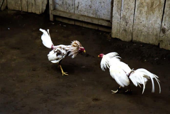 Combattimento tra galli, una pratica crudele da vietare in tutto il mondo | Tuttosullegalline.it