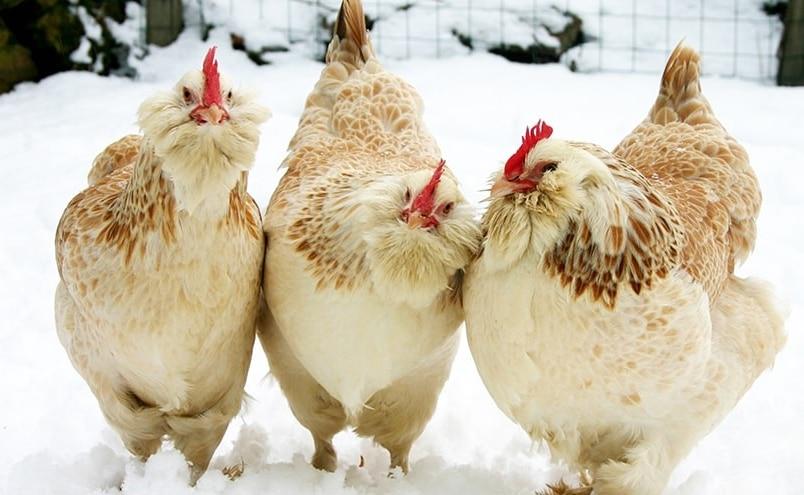 Faverolles sulla neve