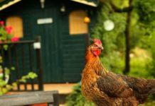Pollaio e salute delle galline: 3 caratteristiche del ricovero da rispettare | Tuttosullegalline.it