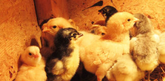 Incubatrice per uova: guida completa per alte percentuali di schiusa | Tuttosullegalline.it
