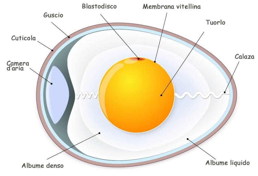 La camera d'aria ubicata all'estremità più rotondeggiante dell'uovo
