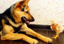 Video divertenti di galline e cani pastori tedeschi | Tuttosullegalline.it
