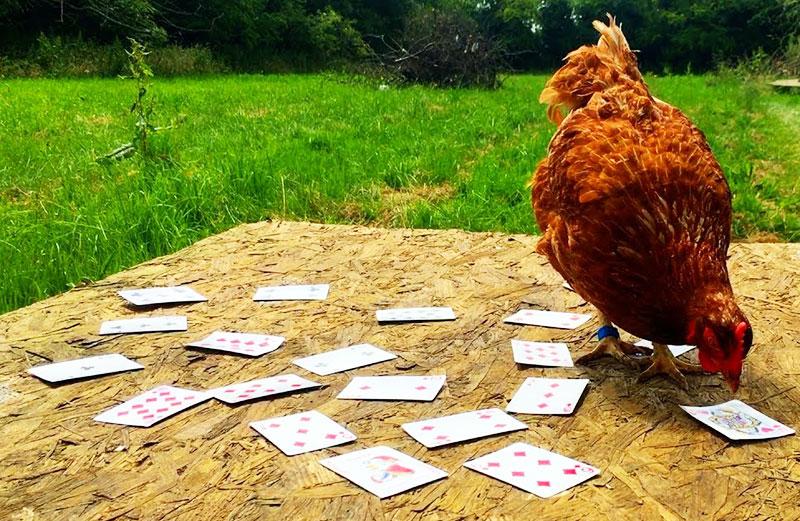 Giochi di galline