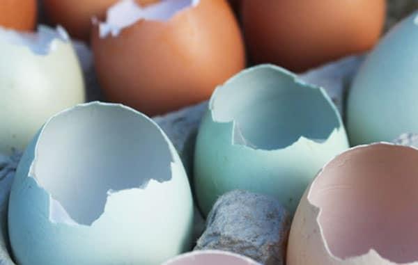 Uova di Araucana con colorazione del guscio azzurra anche all'interno