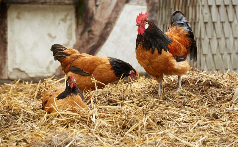 Vorwerk: gallina ovaiola dal manto a folletto | Tuttosullegalline.it