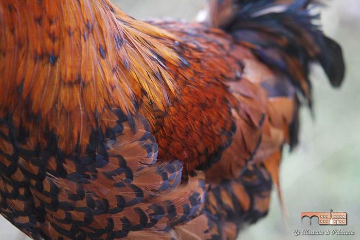 Allevamento galline di razza Polverara