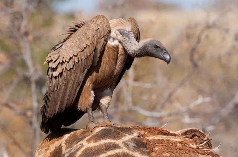 Avvoltoio collo nudo