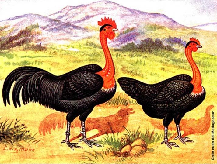gallina combattente collo nudo del Madagascar