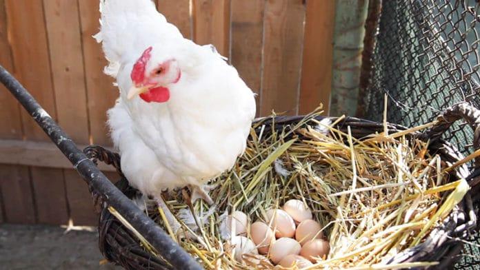 Deposizione delle uova: quando inizia, come avviene e consigli utili | Tuttosullegalline.it